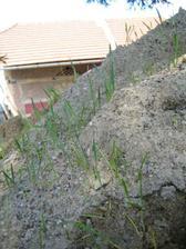 Přivezli nám písek a co z něj po pár dnech nevyrostlo - obilí! :-D