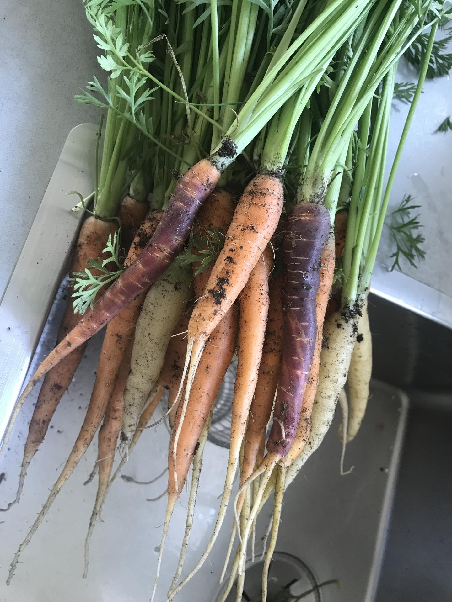 Zahrada - Barevná mrkev 🥕😉