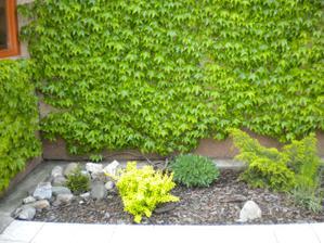 a po tyzdni je uz cela stena zelena