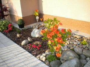 rododendrony v plnej krase
