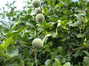 este uplne zelene plody
