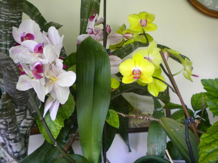 Chalupka u nasich - Mamickine orchidey takto krasne teraz kvitnu, keby ich tak mohla vidiet:(