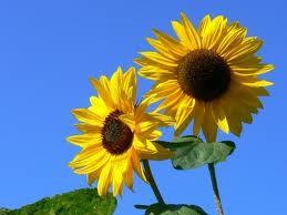 základ květinové výzdoby - slunečnice...tudíž i barva svatby bude žluto-zlato-hnědá...miluju hnědou:D