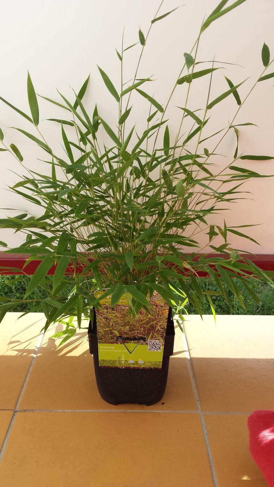 Dnes som bol v Baumaxe v Bb a objavil som tam bambusy tak som zobral 2 na skúšku. Či sa ujmu - Fargesia nitida