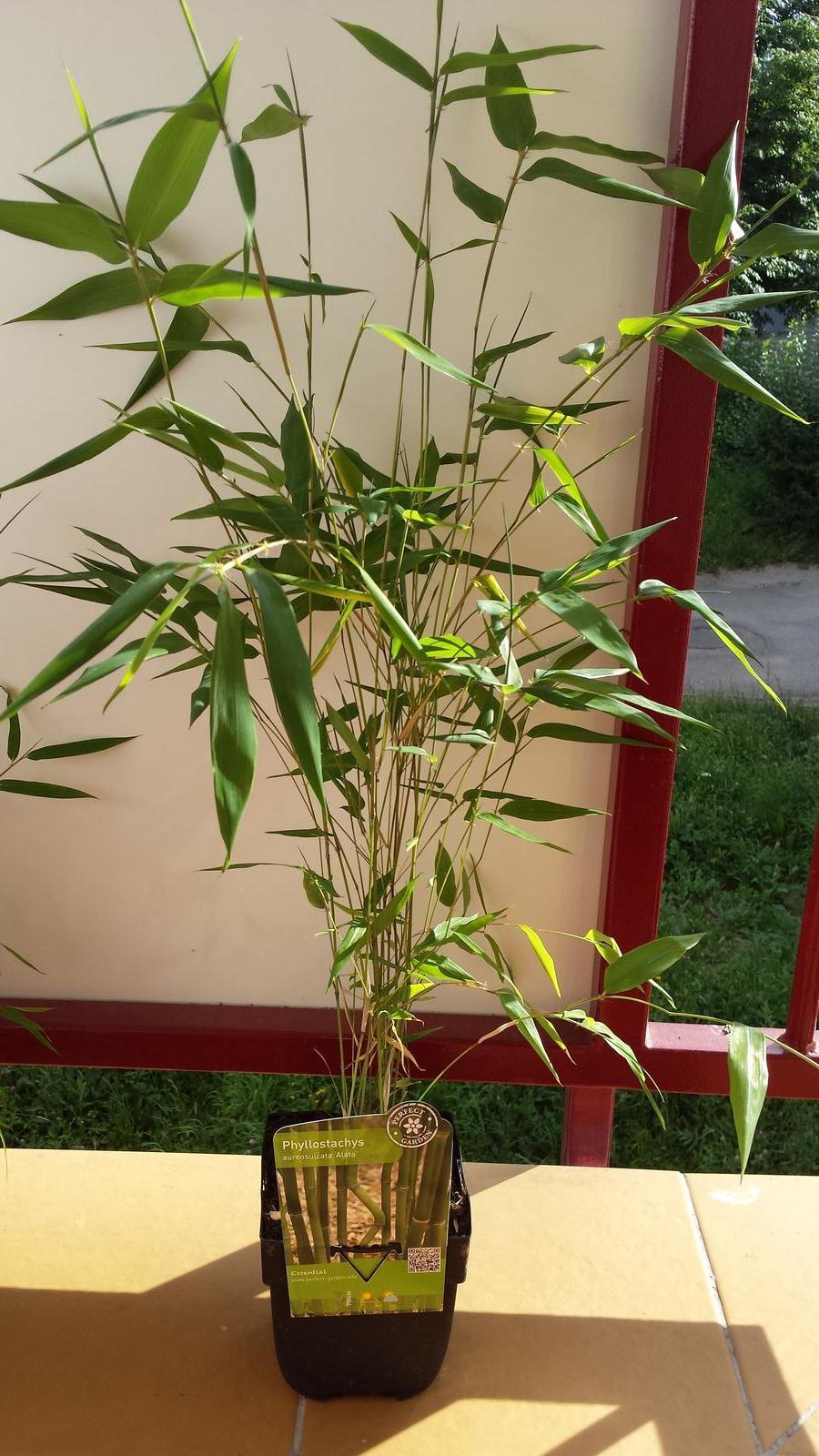 Dnes som bol v Baumaxe v Bb a objavil som tam bambusy tak som zobral 2 na skúšku. Či sa ujmu - Phyllostachys aureosulcata