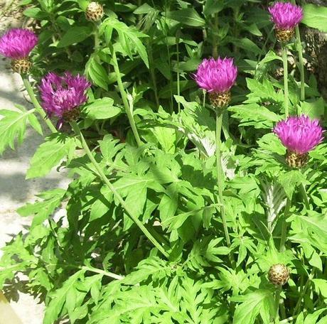 Centaurea dealbata - Obrázok č. 2