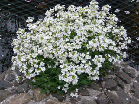 Arabis alpina - Obrázok č. 1