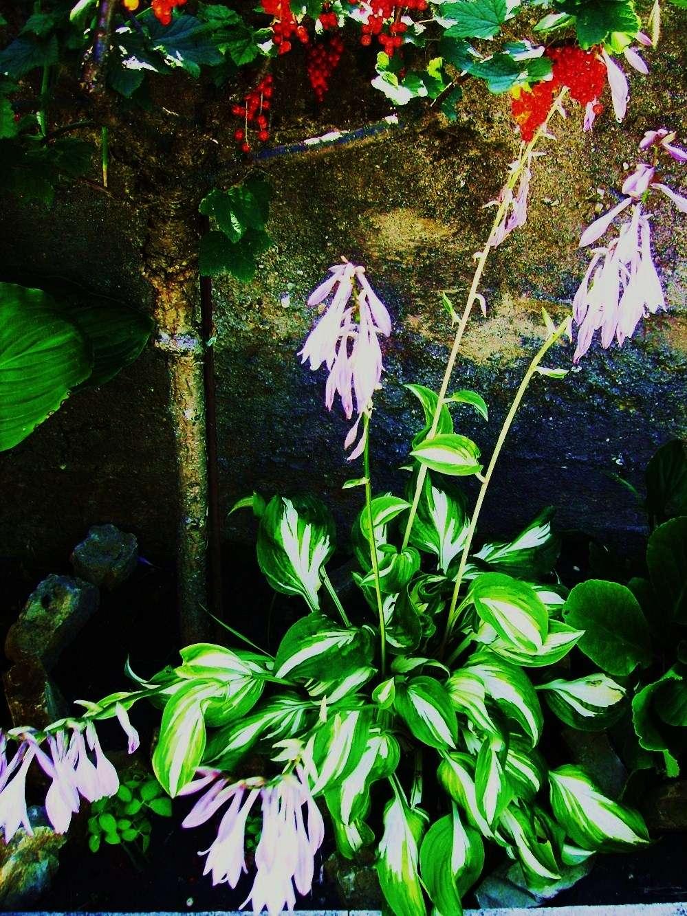 hosta fialová - Obrázok č. 1