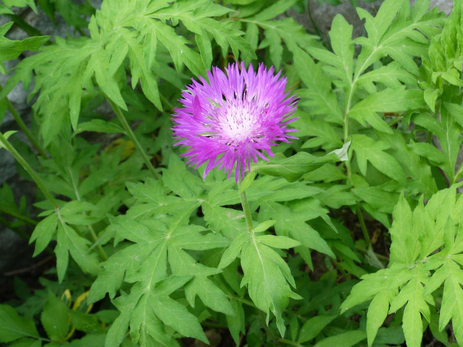 Centaurea dealbata - Obrázok č. 1