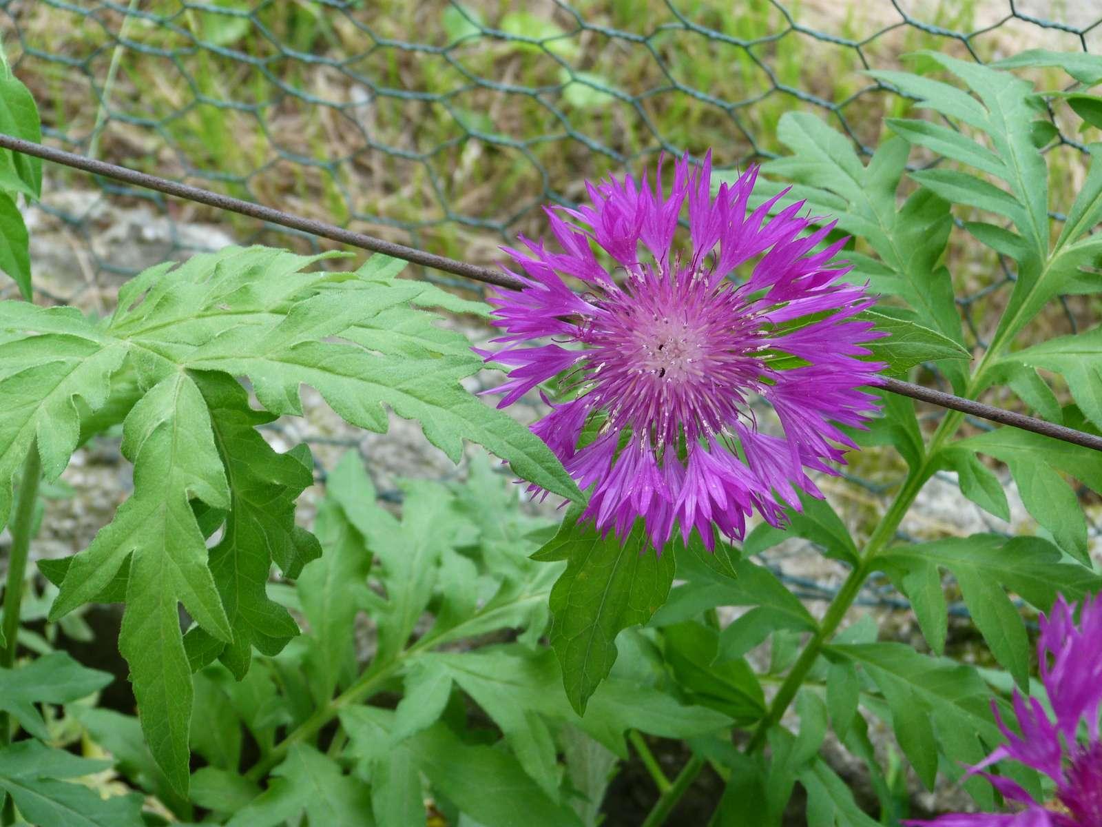 Centaurea dealbata - Obrázok č. 3