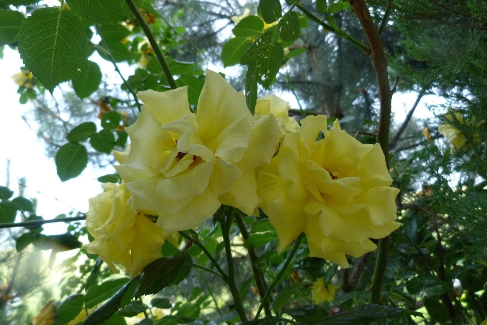 žlté ťahavé ruže - semená - Obrázok č. 1