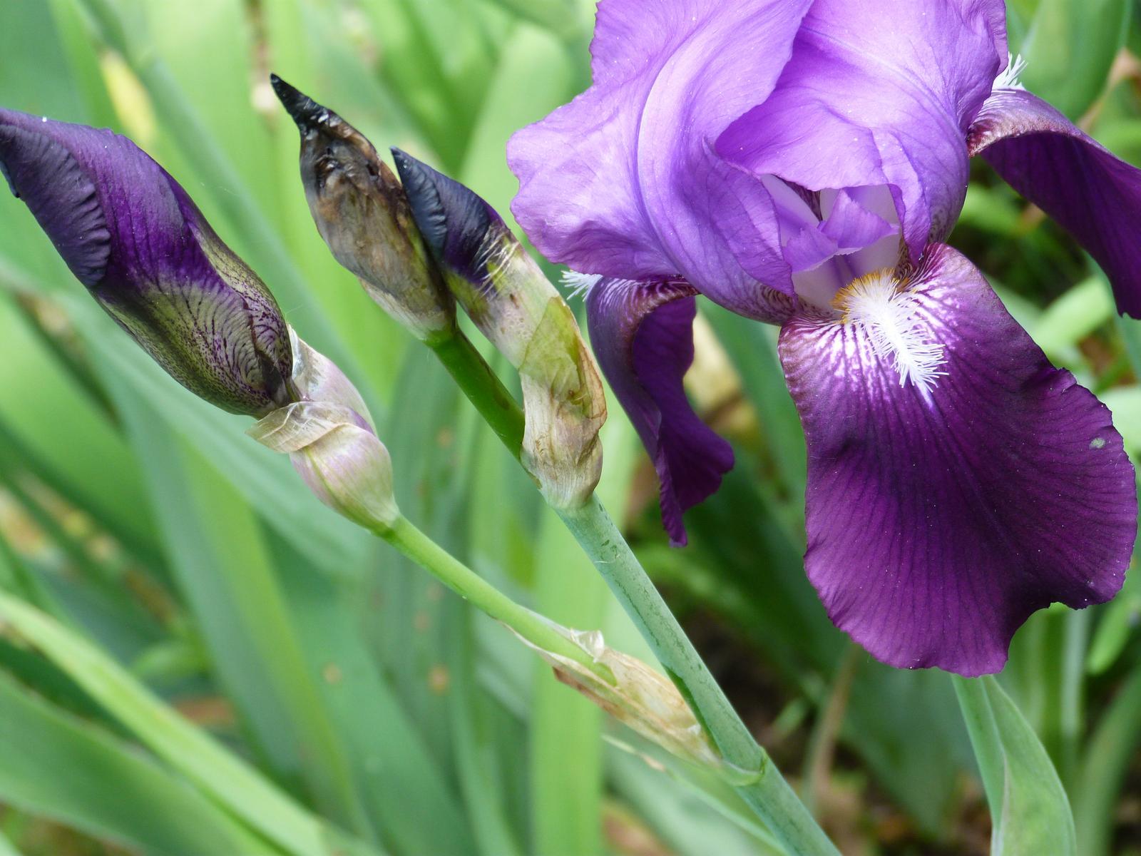 fialové kosatce - Obrázok č. 1