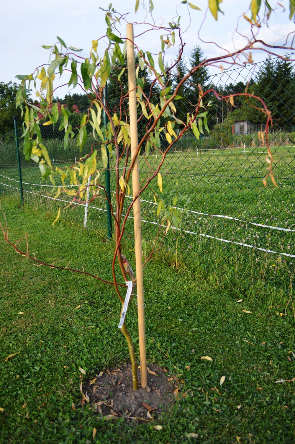 """Prosím o POMOC :-(  Pred týždňom som si kúpila a zasadila Vŕbu Pekingskú (Salix Babylonica tortuosa) ale začala mi žltnúť a opadávať, Dá sa ešte dokopy? Vyžaduje si nejakú špeciálnu starostlivosť? Treba nejako """"prehnane"""" veľa polievať? Zalievam ju len večer a tak primerane. ďakujem - Obrázok č. 2"""