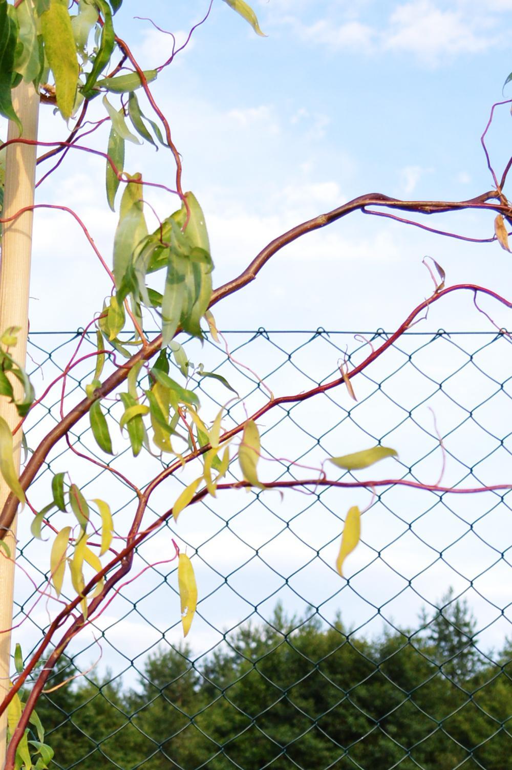 """Prosím o POMOC :-(  Pred týždňom som si kúpila a zasadila Vŕbu Pekingskú (Salix Babylonica tortuosa) ale začala mi žltnúť a opadávať, Dá sa ešte dokopy? Vyžaduje si nejakú špeciálnu starostlivosť? Treba nejako """"prehnane"""" veľa polievať? Zalievam ju len večer a tak primerane. ďakujem - Obrázok č. 3"""