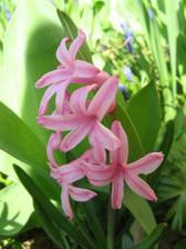 a hyacinty