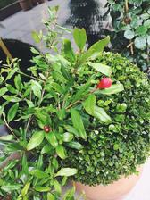 granatove jablko.. som zvedava kolko jablk bude mat.. teraz ma okolo 12 kvetov ak nie viac kedze stale par pribuda.. a stale mi niekto po jednom trha.. 😁 asi nasa macka 😆