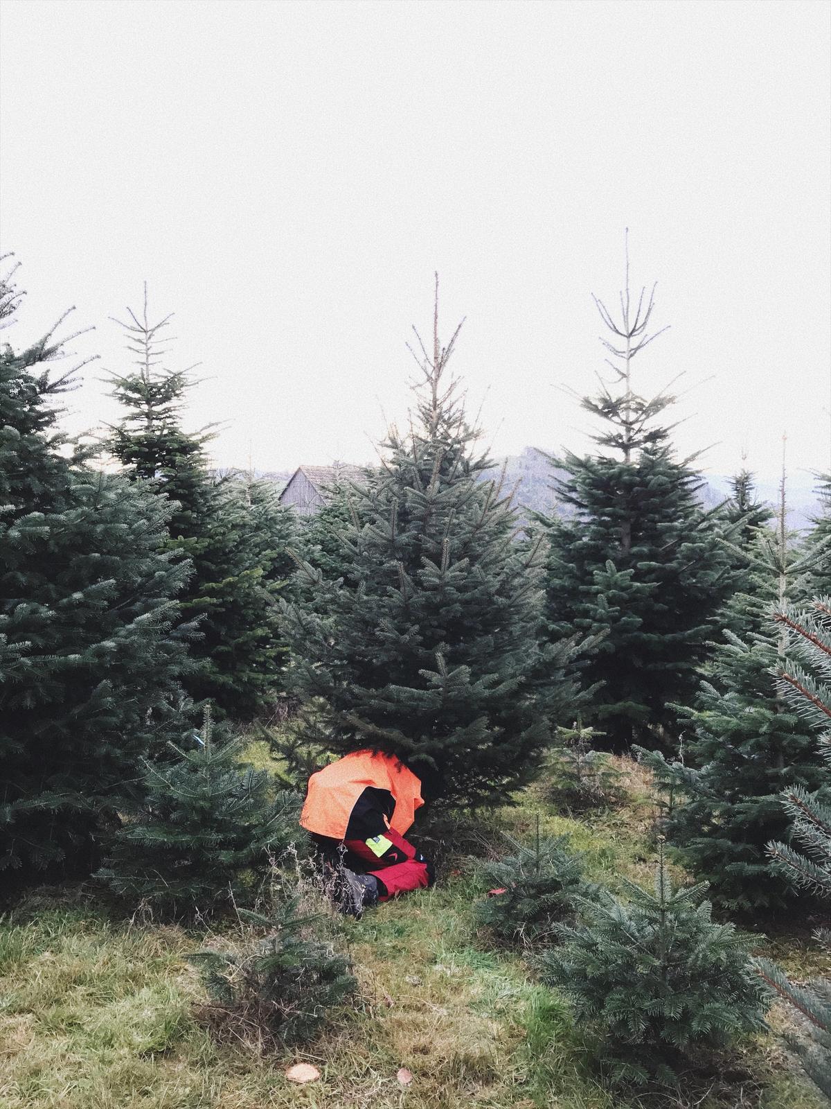 Vianoce 2016 - cerstvy stromcek z lesnej skolky.. vonala cela pivnica a teraz cela obyvacka :-)
