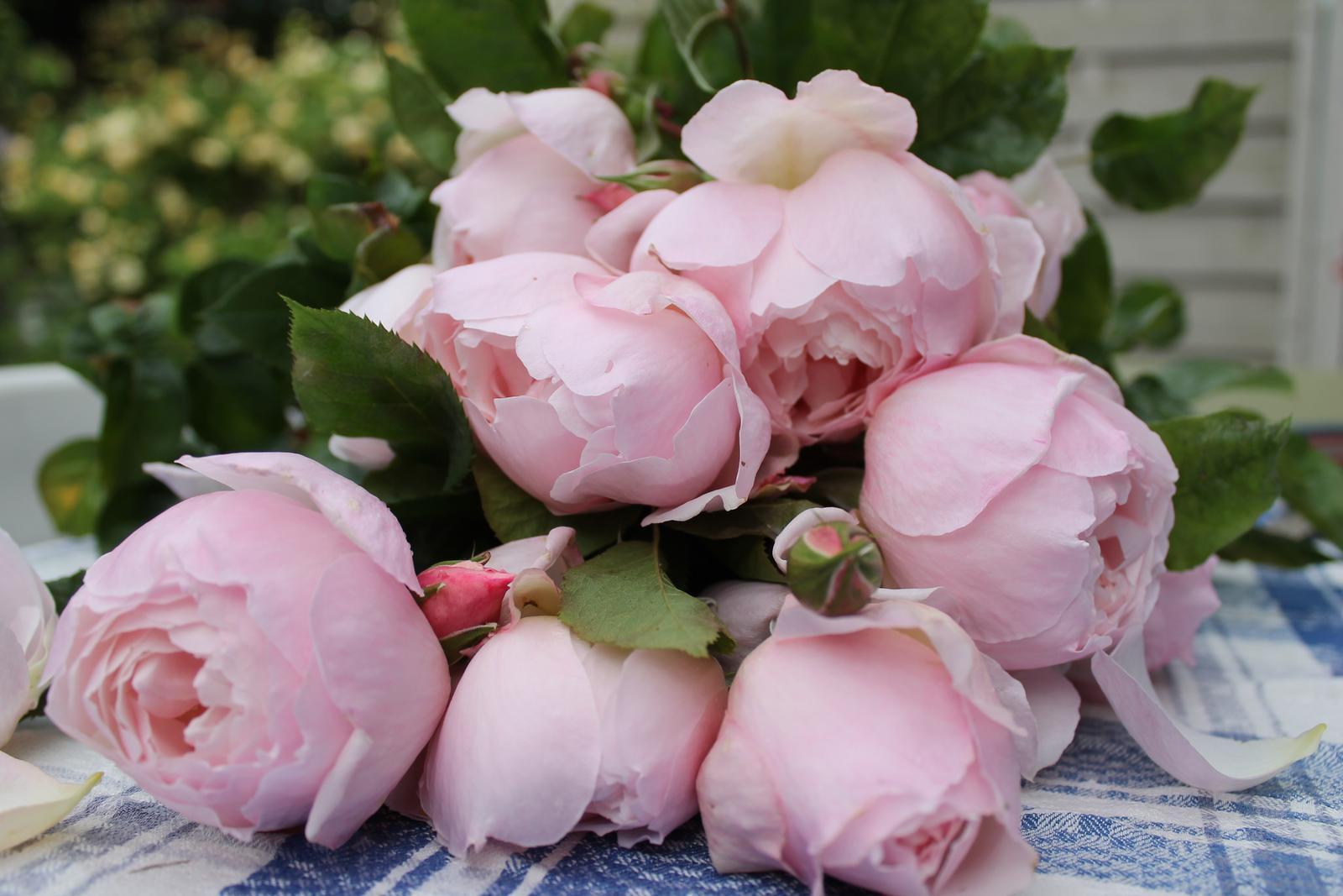 David Austin rosen - The Generous Gardener, zajtra hned objednam..