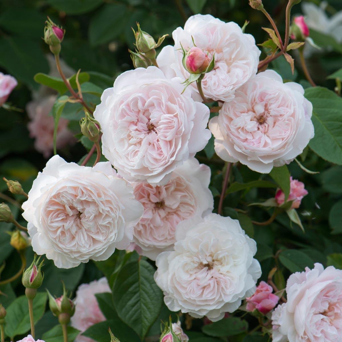 David Austin rosen - Rambling roses