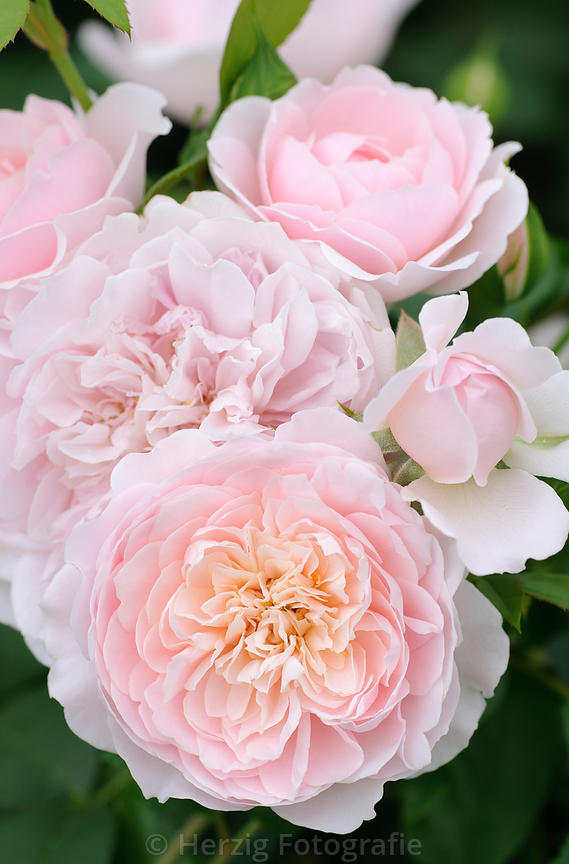 David Austin rosen - Wildeve rose uz objednana :-)