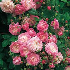 Flora rambling rosa