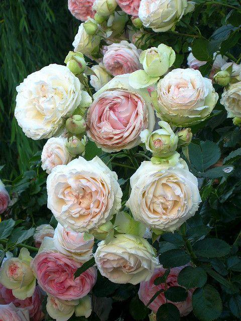 David Austin rosen - Swansong- willows rosa