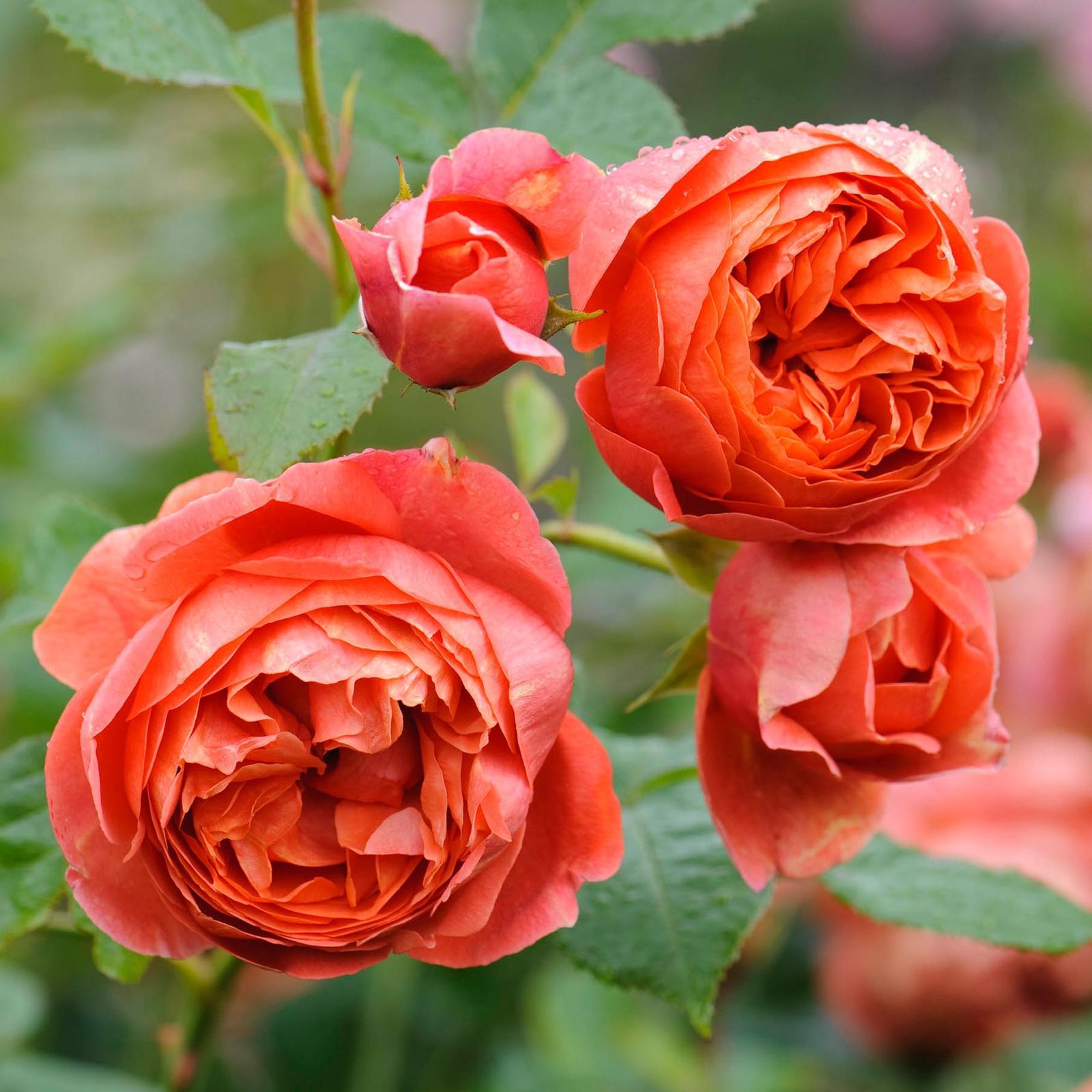David Austin rosen - Summer song tuto mam v crepniku, ta je nadherna aj ked oranzove ruze nemusim