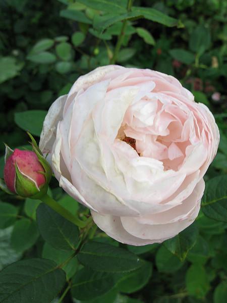 David Austin rosen - No aj keby som mala mat 30 kvetinacov a budu mi v ceste stat, must have!