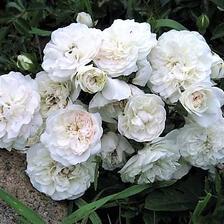 Swany mini rose