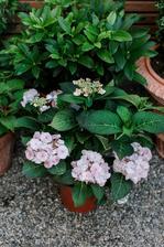 Hydrangea macrophylla 'Charm'®
