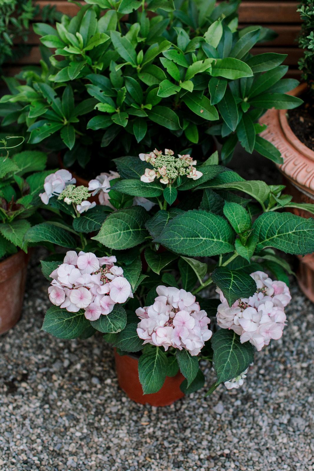 Moje Hortenzie <3 - Hydrangea macrophylla 'Charm'®