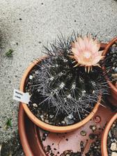moje kaktusy <3 kto by to povedal, ze maju take krasne kvety..