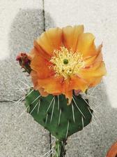 opuntia mi kvitla prvy krat tento rok, mala len 2 kvety. prvy vydrzal jeden den a druhy dva dni.. nadhera neskutocna