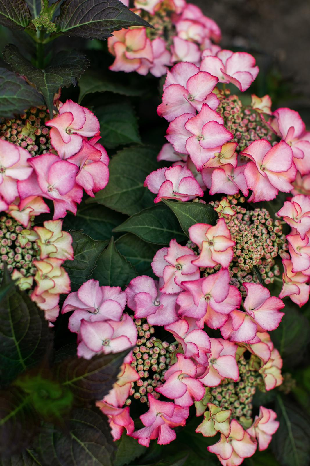 Moje Hortenzie <3 - Tiffani rose