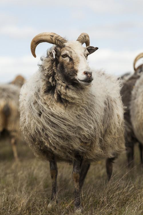 Gotland ovce - Obrázok č. 14