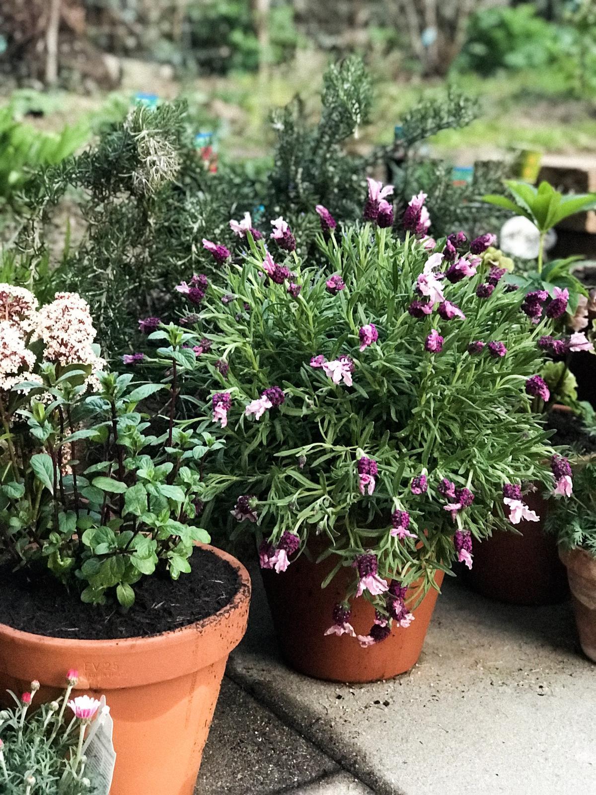 Terasa+ zahrada vzadu.. - jednu levandulu pre vcely