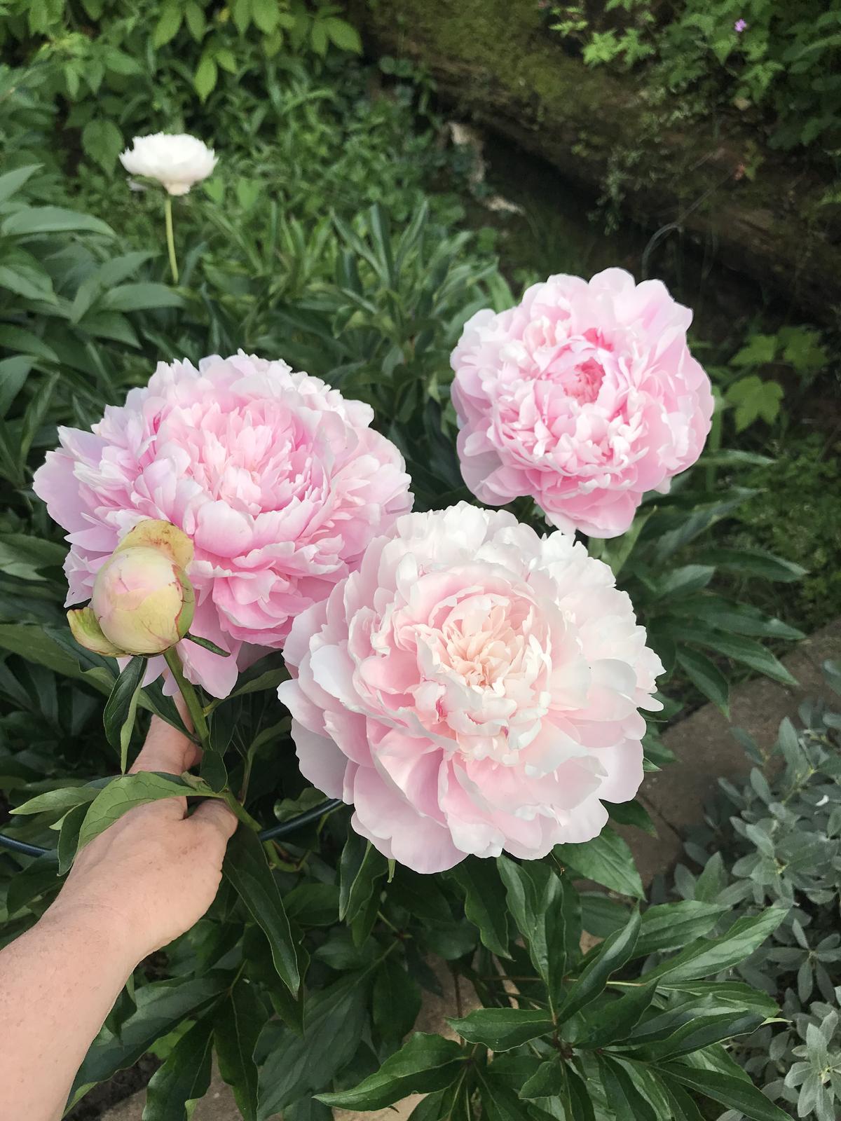 Terasa+ zahrada vzadu.. - Tuto milujem, ma kvety velke ako moja ruka 😍