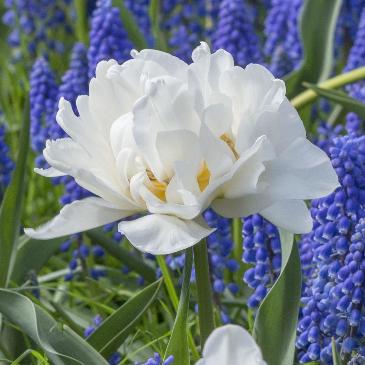 Moja kvetinova farma  :-) - popcorn tulipan <3