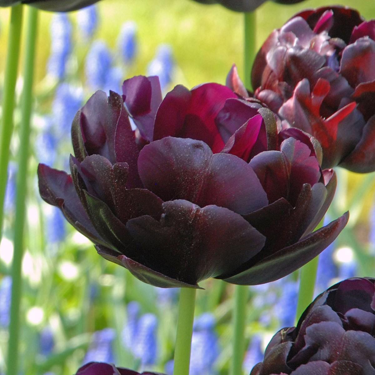 Moja kvetinova farma  :-) - black diamond