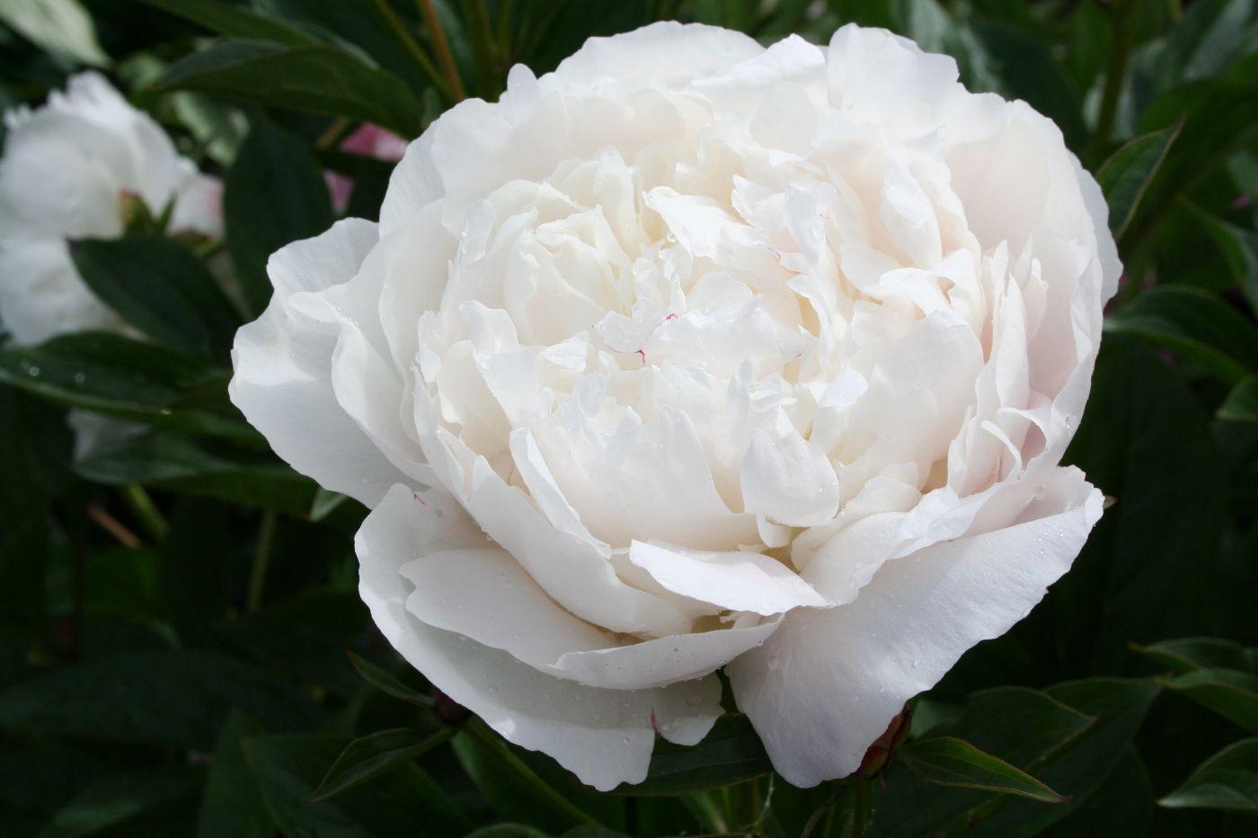 Moja kvetinova farma  :-) - Kelway's Glorious