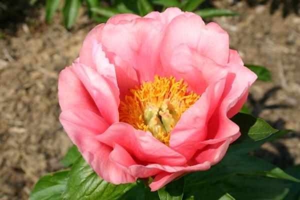 Moja kvetinova farma  :-) - Lovely Rose- uz doma