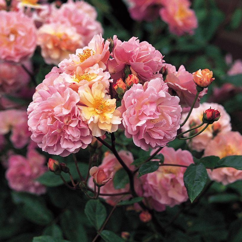 Moja kvetinova farma  :-) - cornelia
