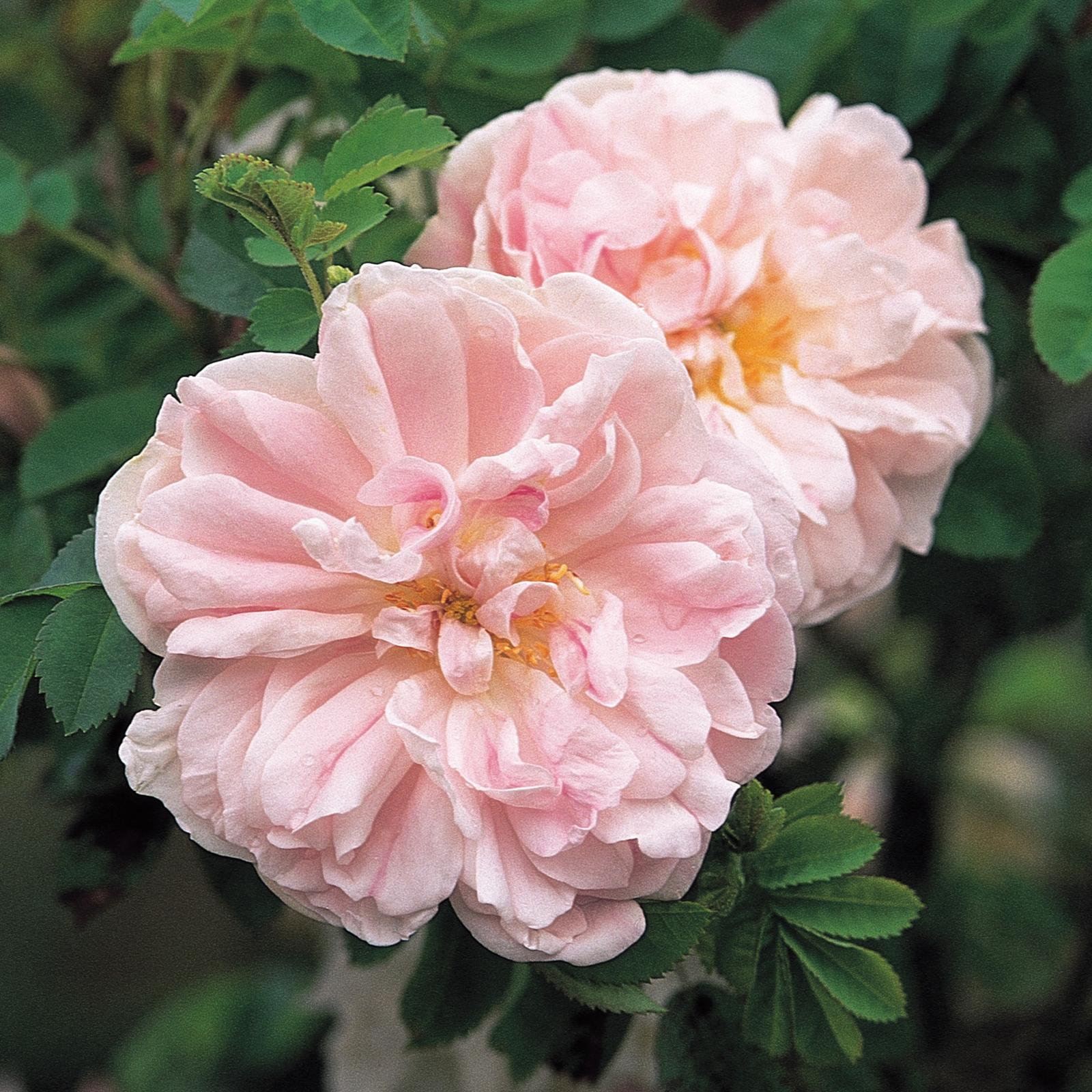 Moja kvetinova farma  :-) - R. SPIN. 'STANWELL PERPETUAL'