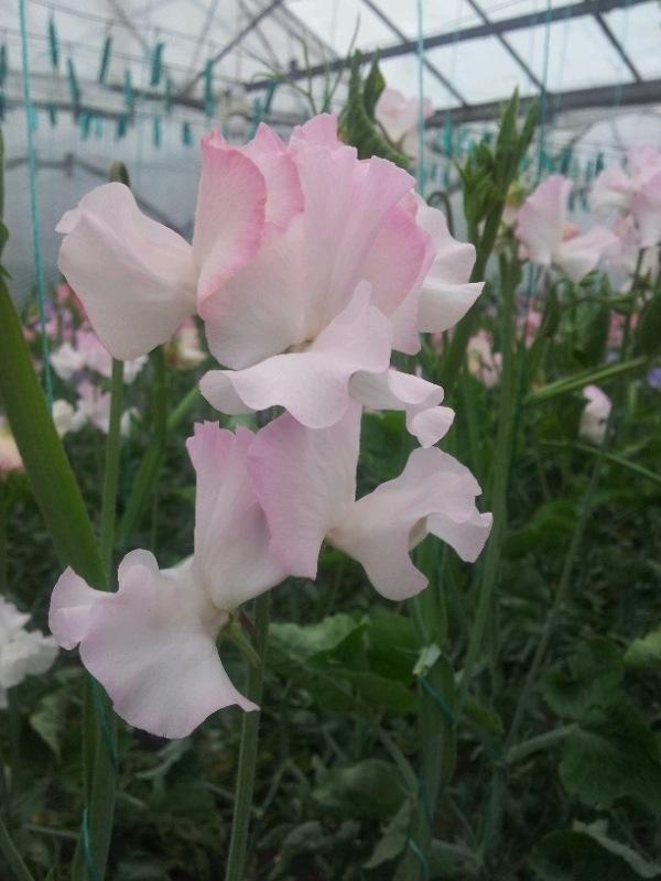 Moja kvetinova farma  :-) - Obrázok č. 29