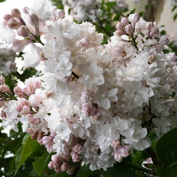 Zaciname 2020 bude farebnejsi :-) - dufam, ze aj tato moskovska kraska zakvitne tento rok.. len ju nemozem zasadit, lebo mur presunuli na jesen a az ked ten bude hotovy mozem hore vysadit stromky.. musi dovtedy vydrzat v kvetinaci..