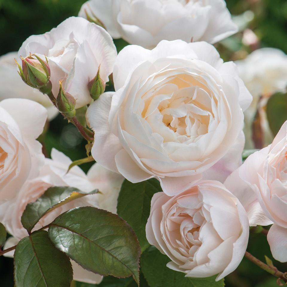 Moje ruze - Desdemona