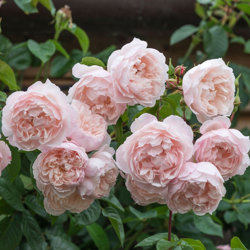 Moje ruze - The generous gardener