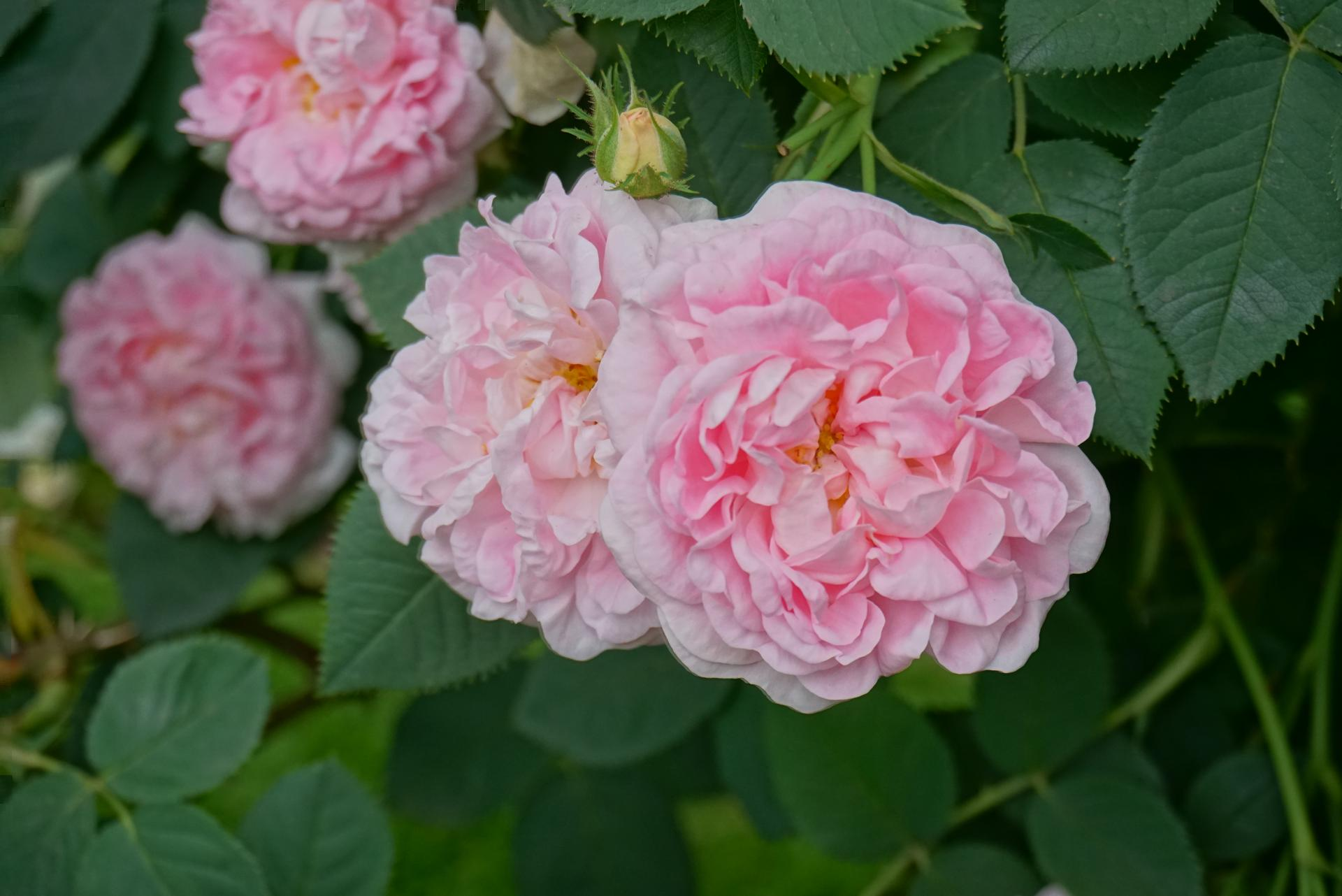 Moje ruze - Maiden Blush
