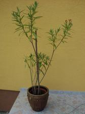 môj oleander