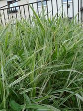 aj túto okrasnú trávu, ešte jej len nájsť miesto